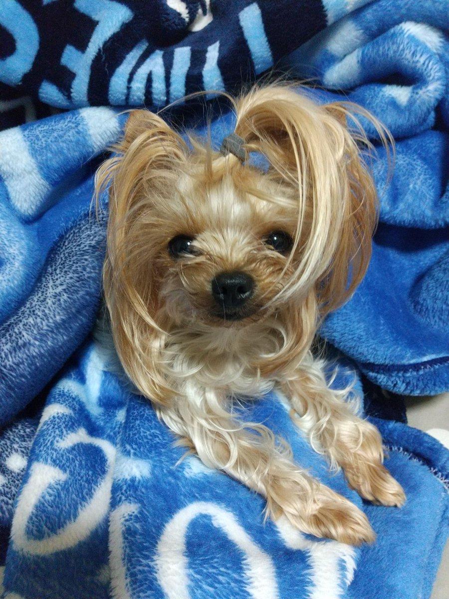 やっぱり、ボサボサが好きなんかな? ボサボサやと結構ご機嫌さんッ  *・最新のヘアスタイルは、 絶対これやで~ みんな、真似していいよ~  #ヨークシャーテリア #ヨーキー #犬好きさんと繋がりたいpic.twitter.com/9Aoxgg9NIl