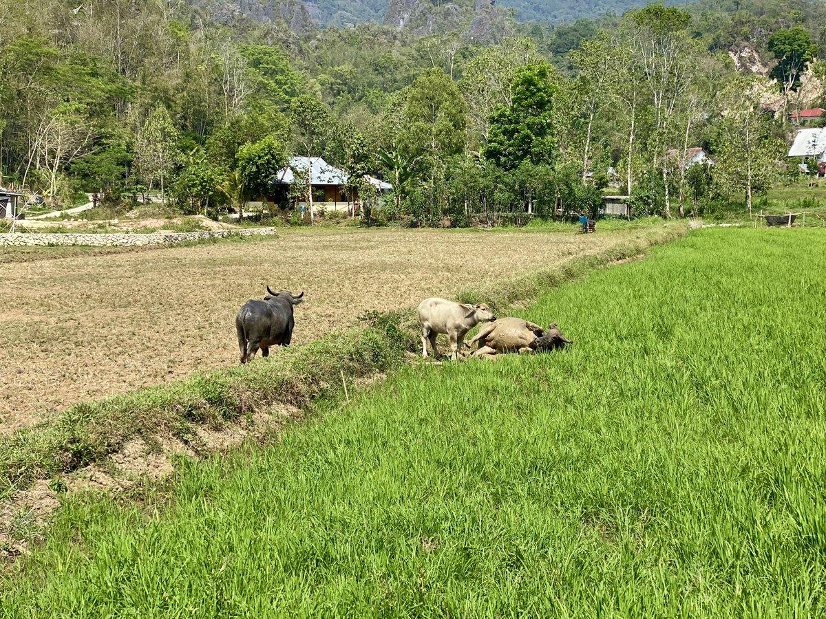 Liebesdrama auf dem Reisfeld in drei Akten. Die Geschichte dazu lest ihr in Teil 1 unseres Indonesienberichts auf  - Geschichten und Fotos aus aller Welt  #wasserbüffel #reisfeld #ichwilldochnursuhlen #rantepao #sulawesi #indonesien #shotoniphone
