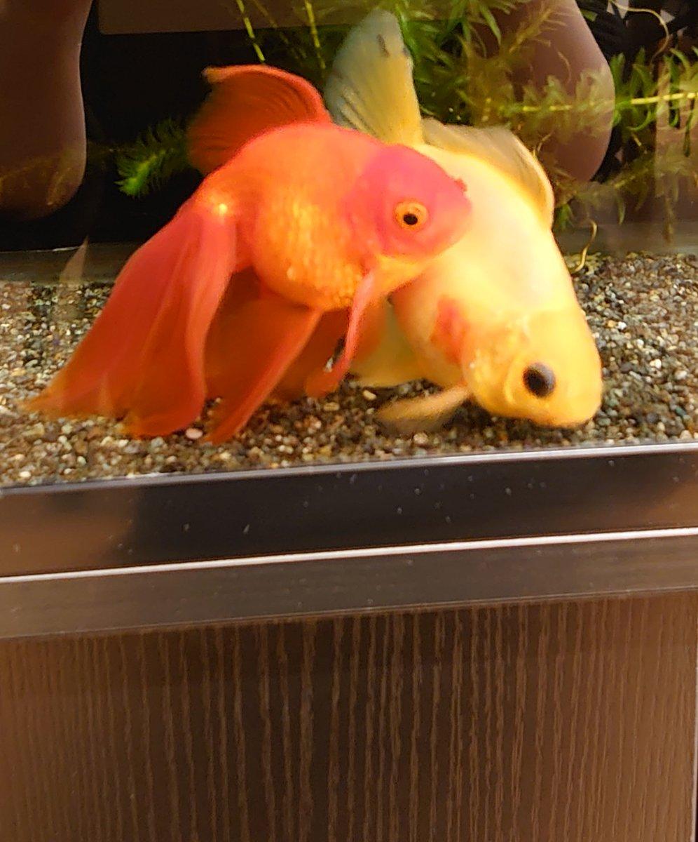 毎晩こんなんだ 寄り添って  #金魚 #癒し pic.twitter.com/p0n4qYJqIs