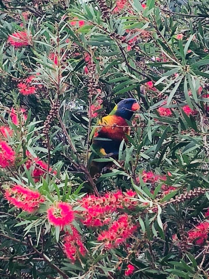 I spotted a Rainbow Lorikeet in a Bottlebrush tree on my walk this morning. Beautiful nature in #Australia pic.twitter.com/ak14vhhuEB
