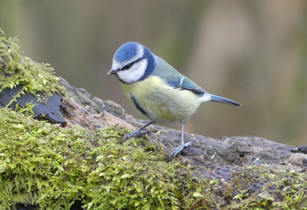 Blue tit at Cromwell Bottom LNR last month. #birdtherapy #TwitterNatureCommunity #wildlife #wildlifephotography #nature #naturephotography #birds #birdphotography pic.twitter.com/C8z16qxOfp