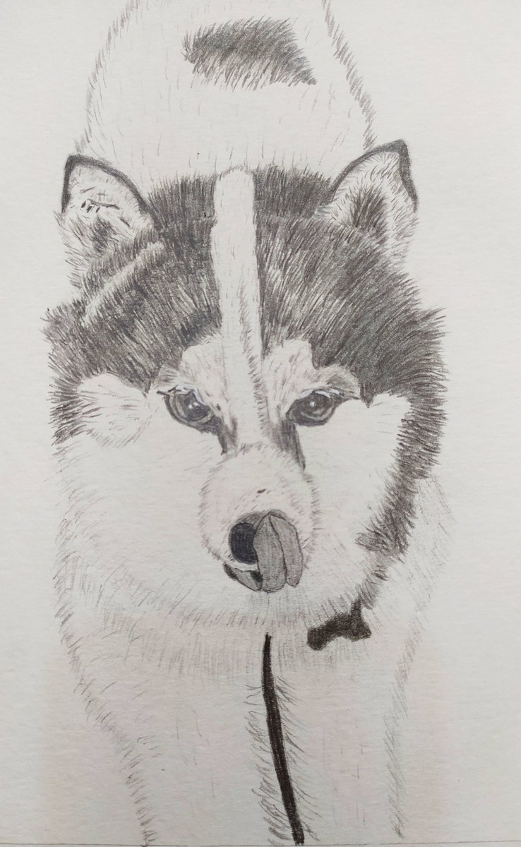 Commission paid Husky pencil drawing on A4 mixed media.. #dog #husky #doglovers #Pencildrawing #drawing #sketch