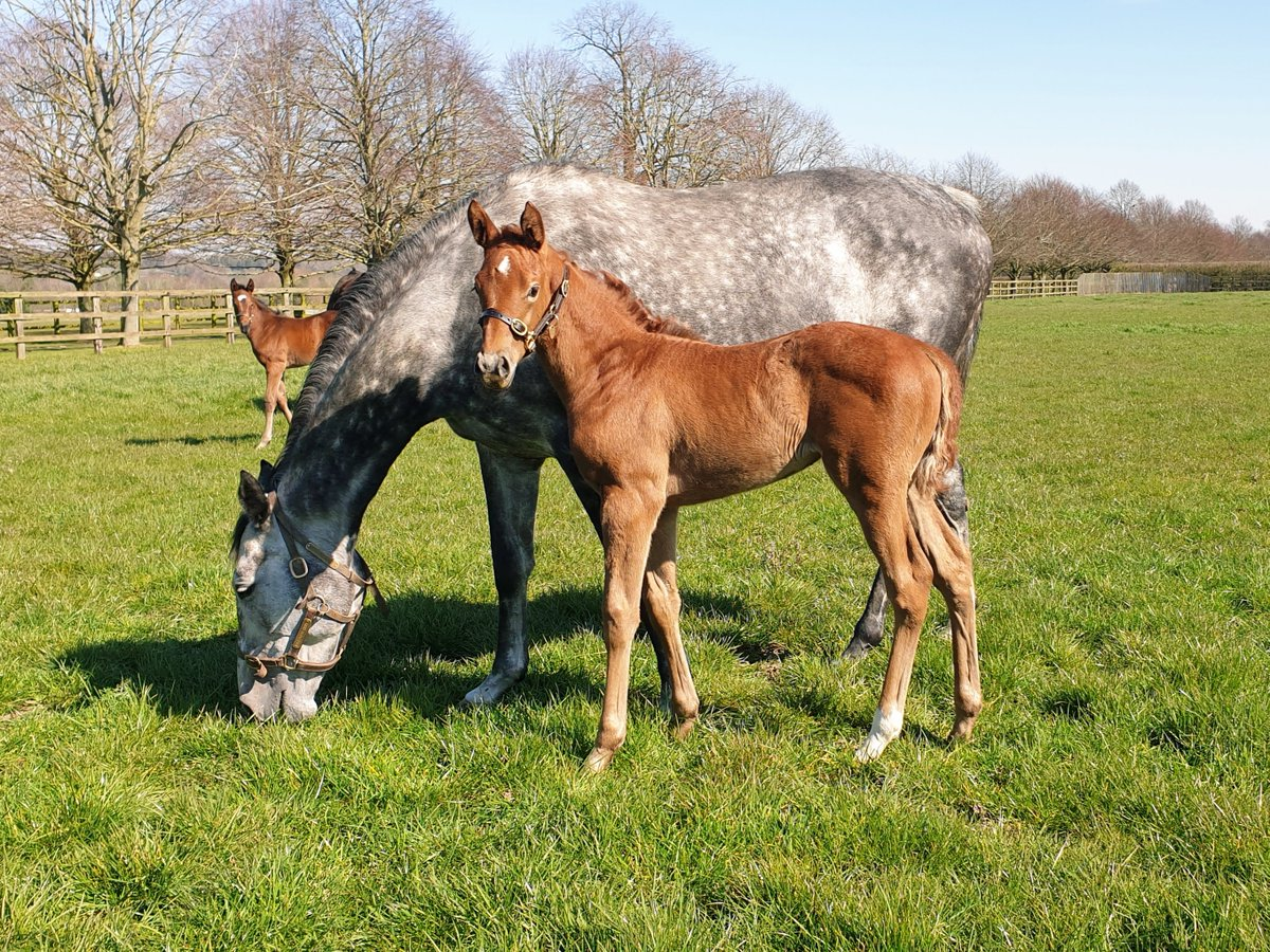 One of three PIVOTAL fillies born @CPStudOfficial so far this season, this athletic foal is out of VOLITION (Dark Angel). Volition is a dual-winner from the family of Kinnaird, Ivawood and Laurens #RPFoalGallery