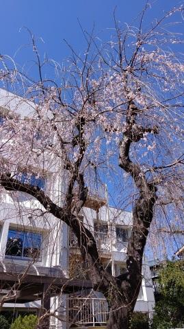 学校の裏庭には、桜の木があります。 在校生のみなさんはご存知だと思いますが、新入生のみなさんが、初登校する頃には、散ってしまっていることが多く・・・【湘央生命科学技術専門学校応用生物科学科のブログを更新しました】 https://buff.ly/2o3dPA6 #専門学校 #バイオテクノロジー #動物看護師 pic.twitter.com/OdYuyty2Xd