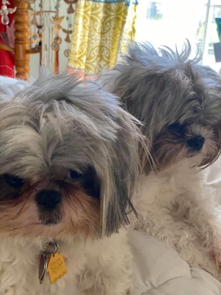 #Lockdown hair...#nogrooming #dogsoftwitter #shihtzu #puppy #dogmom #mylife  #mansbestfriend pic.twitter.com/Qdh7ZlzrXI