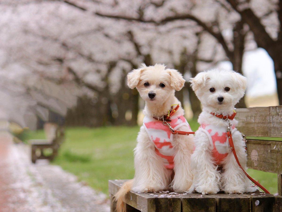 こんばんは この間の雨上がりの桜並木です もう、だいぶ散ってたけどお散歩できて良かった この日は寒かったけど明日は晴れみたいです ちょっと寂しげな顔してる? 人もワンコもあまりいなかったね そんな顔しないで 明日も頑張っていこー! #愛犬 #ポメラニアン #トイプードル #ミックス犬 pic.twitter.com/Lypve7gkvg