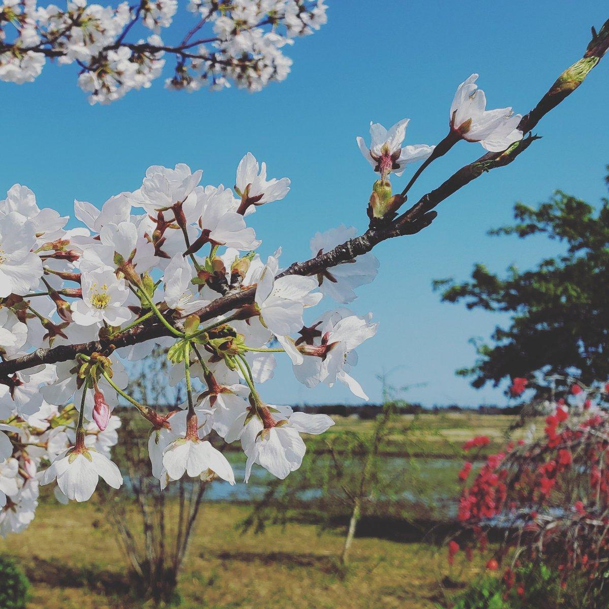 Sakura #japan #travel #love #beautiful #Likeforlike #followme #picoftheday #follow #SAKURA #CHERRYBLOSSOM