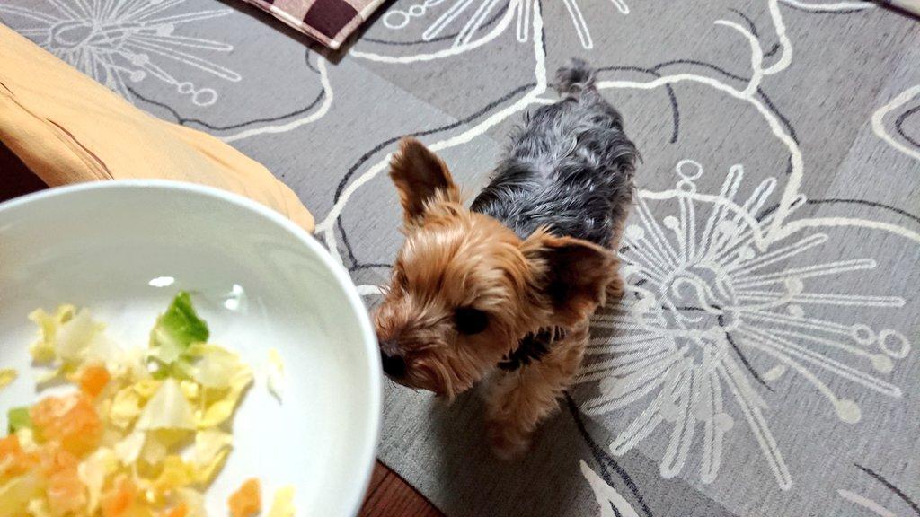 キャベツ&チーズだよ!小梅さん。#ヨーキー pic.twitter.com/l7TiazfSUr