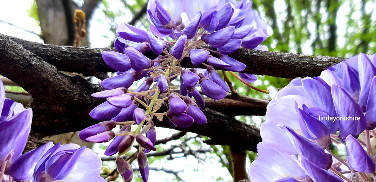 pic of my neighbors            wisteria flowers               any copyright                        needed?       #nature #GoodVibes #NaturalBeauty pic.twitter.com/chNXOROT7x