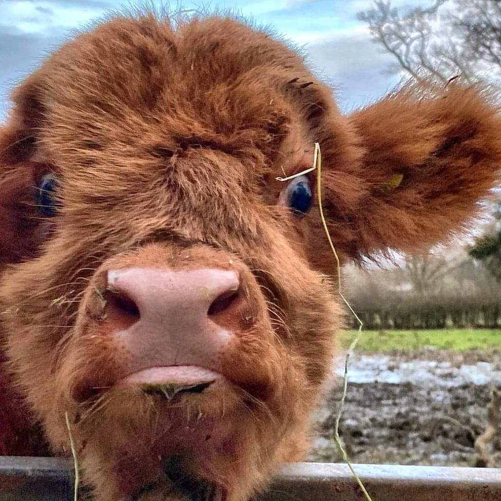 Close up and beautiful #bairn. Great photo:  Iain Taggart #HighlandCoo #Scotland #LoveScotland #ScottishBanner #BestWeeCountry #WeeBeastie #HighlandCow #LoveHighlandCows #ScotlandIsNow pic.twitter.com/j6a5Qbal9L