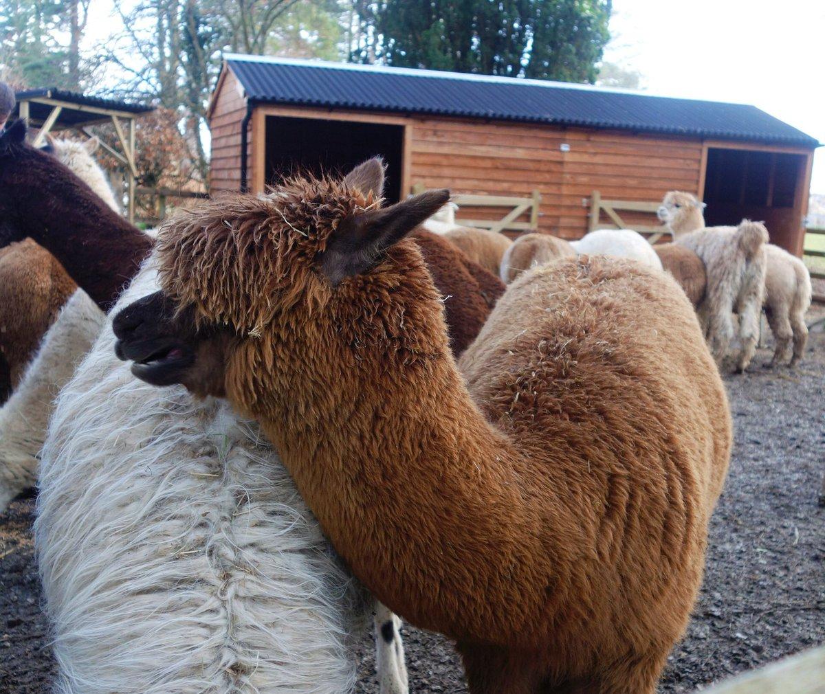 Met alpaca on ma holibobs in Cumbria! They're big !pic.twitter.com/Wt3DFRFewW