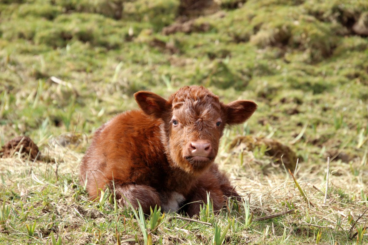 Another cute addition to the #Drimnin herd Not sure Mum looks quite so thrilled about it though.  #WestHighlandPeninsulas #ScotlandIsNow pic.twitter.com/DlinYCBAkt