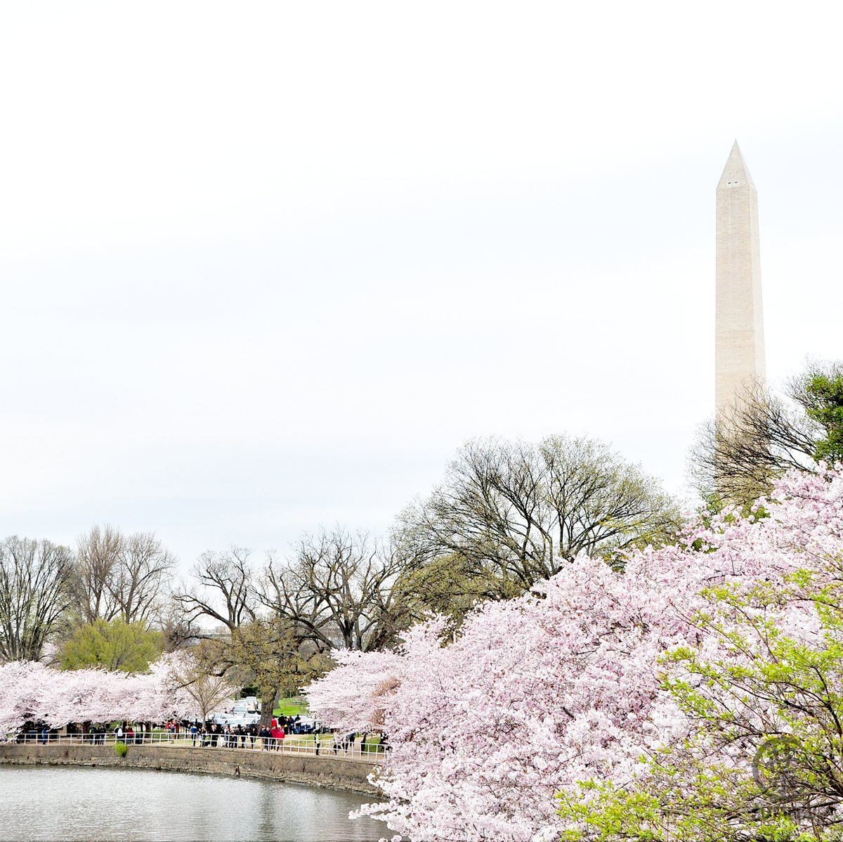 With the pandemic outbreak, a lot of us are restricted from going out to view these blossoms, including us. So we are just admiring the pictures we have taken in the past. ----- #photography #tidalbasin #washingtonDC #cherryblossompic.twitter.com/SIdnNV7T04