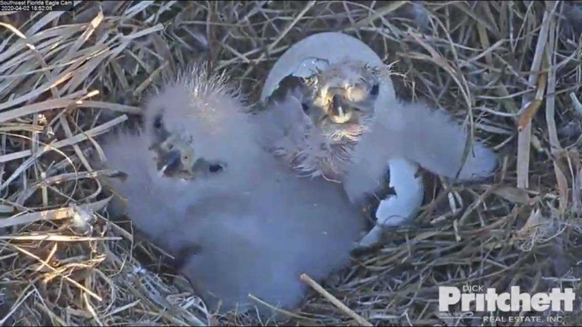 RT <a target='_blank' href='http://twitter.com/SWFLEagleCAM'>@SWFLEagleCAM</a>: E16 has finally made a debut! Tired and hungry- we can already tell this one is a tough one! <a target='_blank' href='https://t.co/DHtsNk0IqY'>https://t.co/DHtsNk0IqY</a>