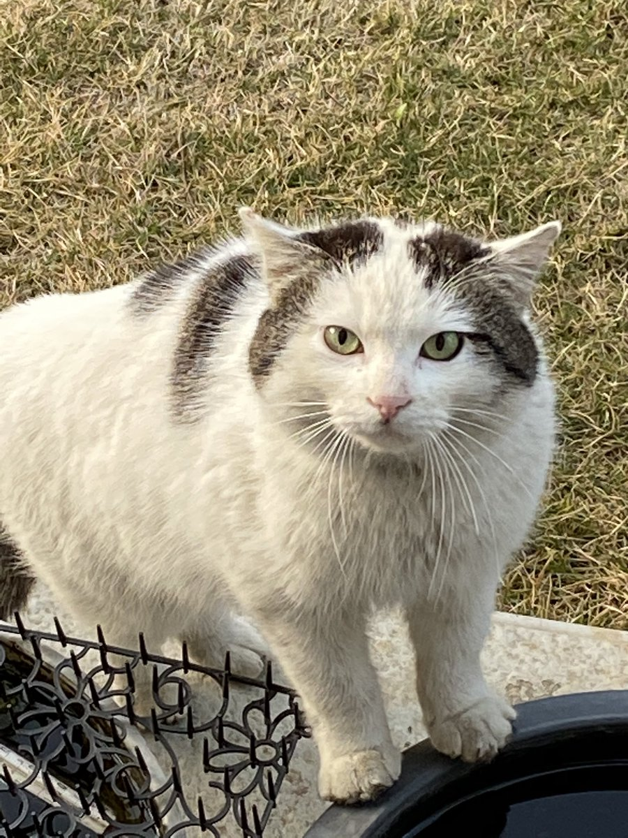 という事で、今朝も我が家を訪問して下さった猫さま。pic.twitter.com/LiWKZGleoU