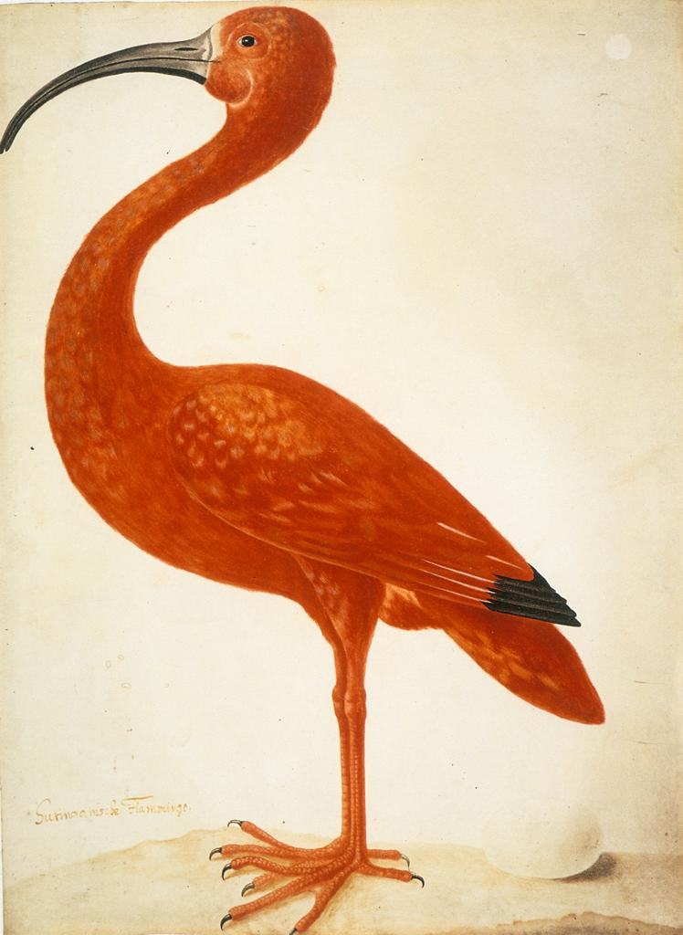 Red ibis. Extraordinarily designed nature study by Maria Sibylla Merian, because today was her day.