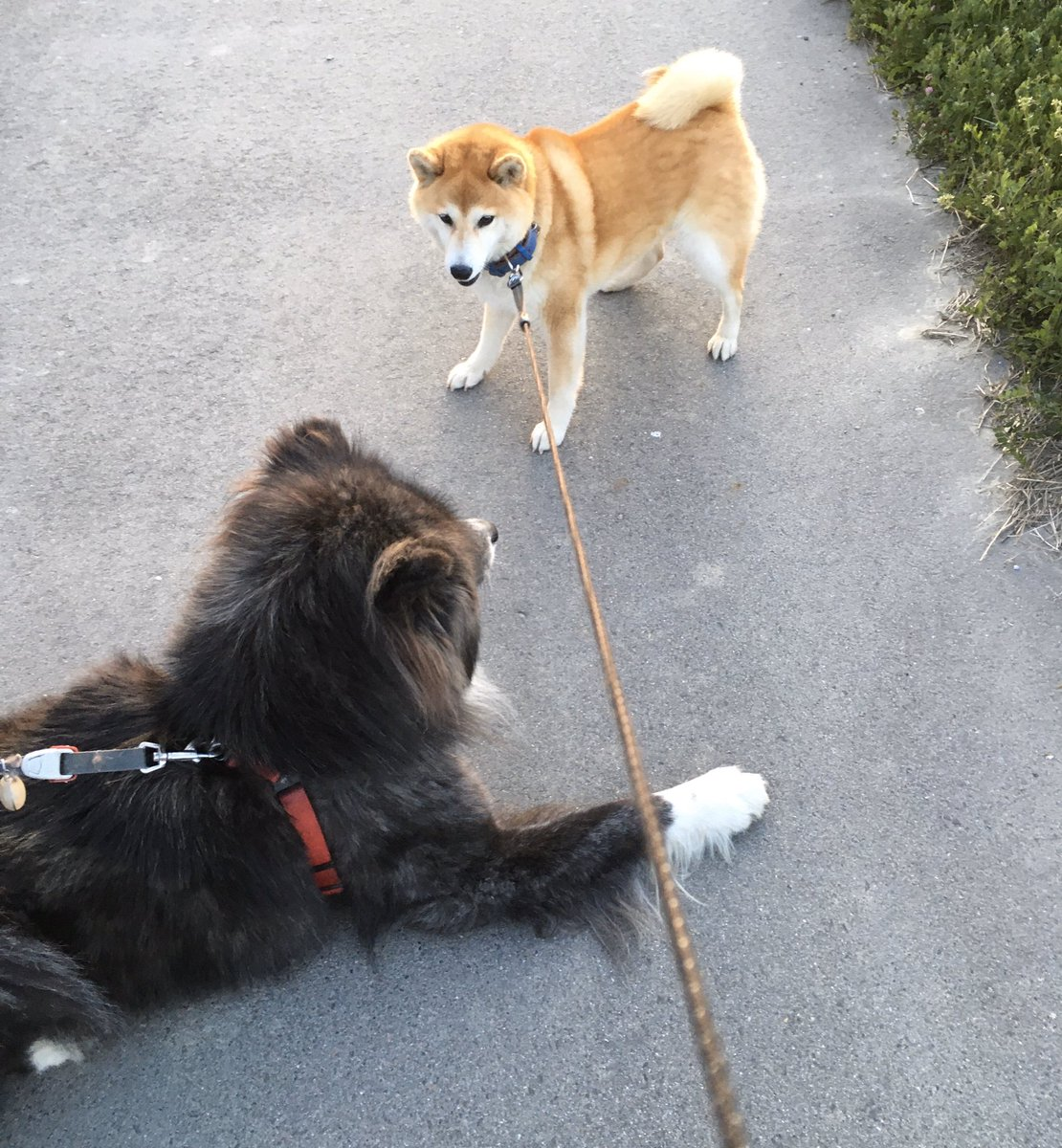 フルサイズの秋田犬に出会った。柴犬が小型犬に分類されるわけがわかりました。