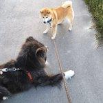 フルサイズの秋田犬と柴犬が出会った!比べると柴犬が小型犬なのがよくわかる…