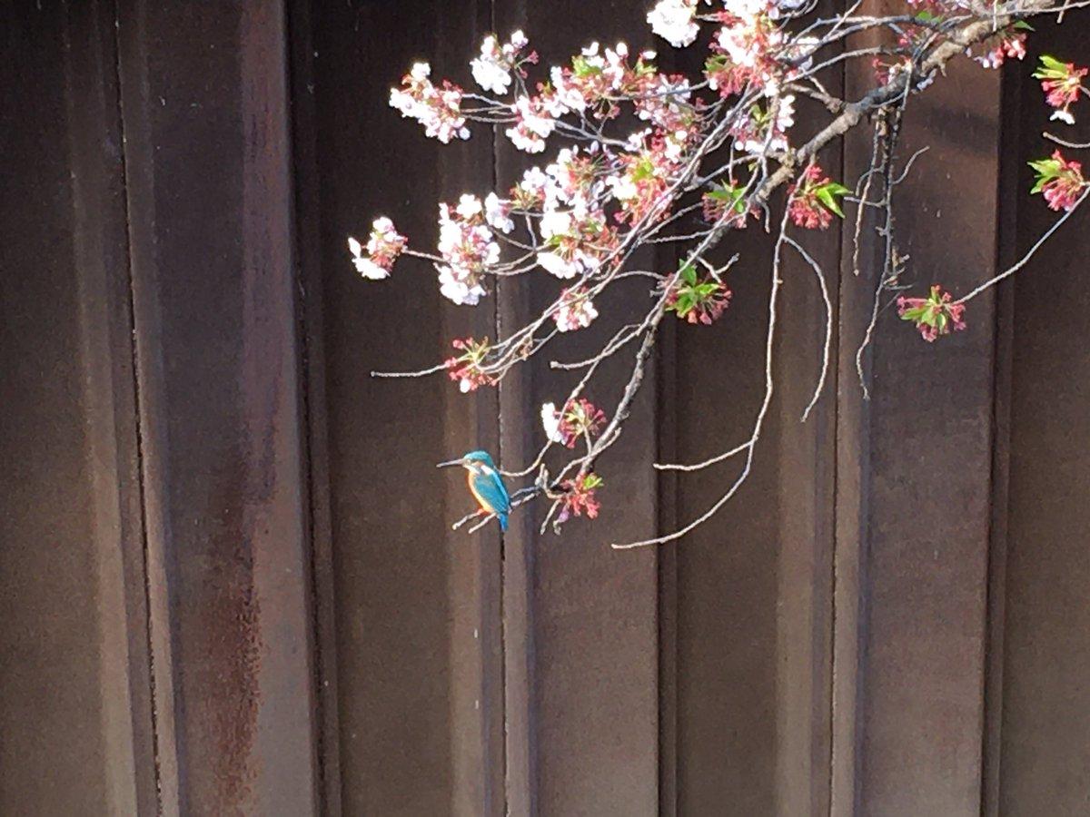 偶然見たカワセミと桜。いいことがあるといいな。