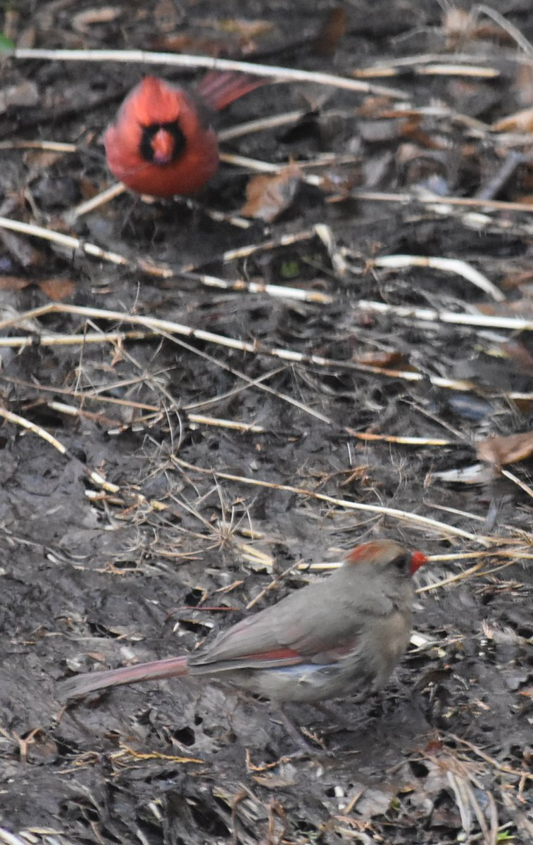 A male and a female cardinal in the same frame. #Montreal #birdwatching #oiseauxpic.twitter.com/LNWnttFc3b