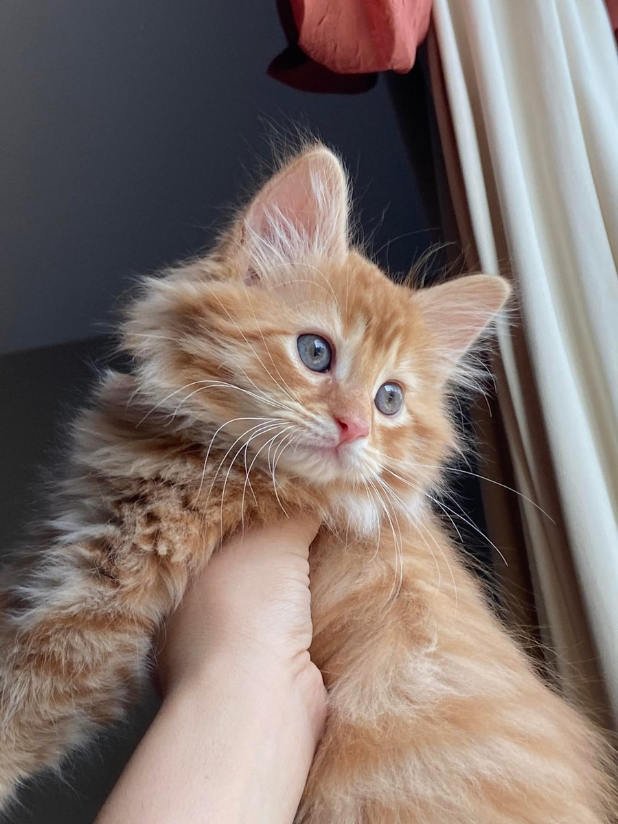 Another #Picture of #Ginger, our #Lil' #Siberian #Forest #Lion 🦁   #Cats #Cat #Kittens #Kitten #Kitty #Pets #Pet #Meow #Moe #CuteCats #CuteCat #CuteKittens #CuteKitten #MeowMoe  https://www.meowmoe.com/608656/another-picture-of-ginger-our-lil-siberian-forest-lion-%f0%9f%a6%81/…   .