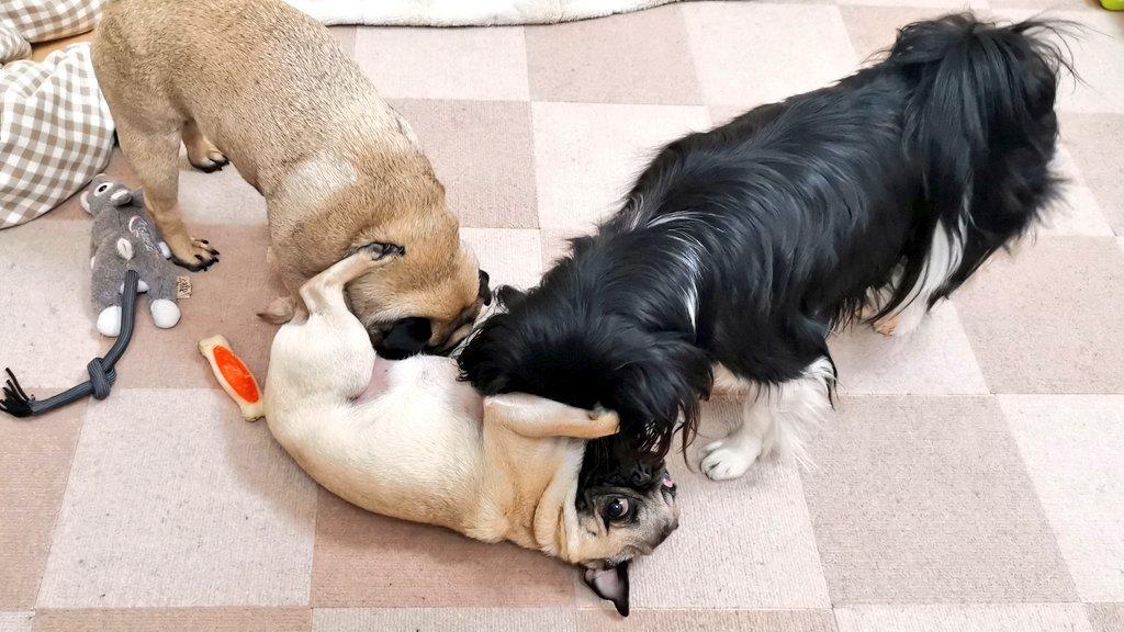ふく、こまにもみくちゃにされるナンシー  #パグ #ミックス犬 #狆 #シーズー #元保護犬 #多頭飼い #pugpic.twitter.com/2KqP8LmeBk