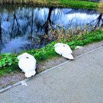 Image for the Tweet beginning: Swans practising semi-isolation along the
