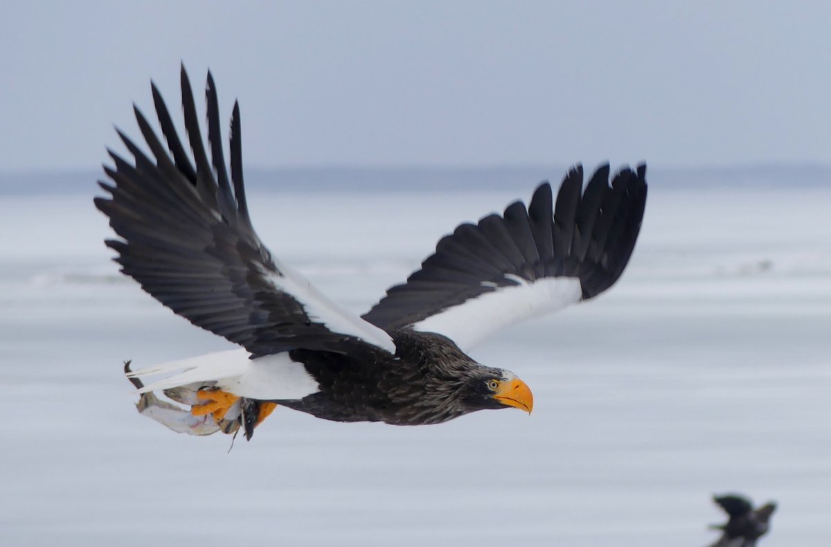 So this is a Steller's Sea Eagle, my photo from #Japan February 2020. This was my most wanted bird in the whole world it did not dissapoint! Which bird should be my next most wanted? Suggestions please.. pic.twitter.com/5vQVIWgDjH