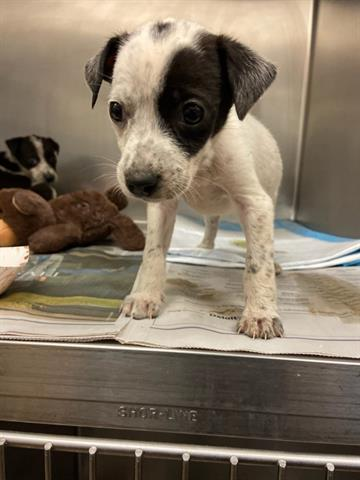 A stray white/black Queensland Heeler female dog about 6 weeks old (ID# A815944) was picked up at Decker Lake in , 78724. Latest info: http://www.petharbor.com/pet.asp?uaid=ASTN.A815944…pic.twitter.com/sZtMJG07AL