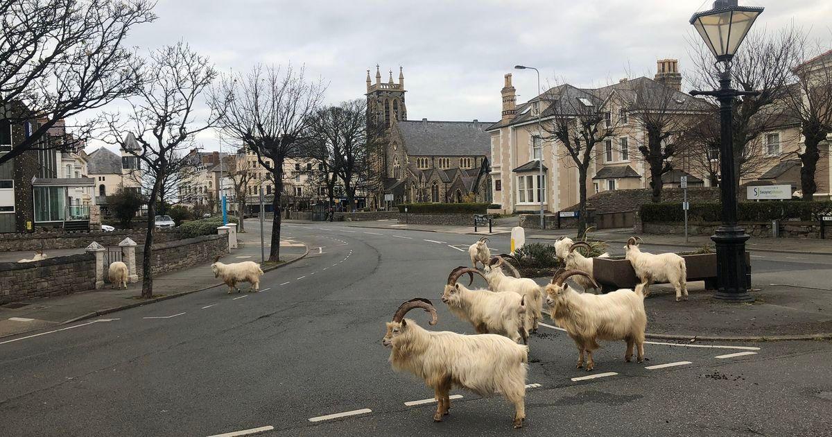 Smart goats, seizing the moment, take over town under coronavirus lockdown @Mashable - https://shevi.be/3axKp3Rpic.twitter.com/gZNuO0PC0K