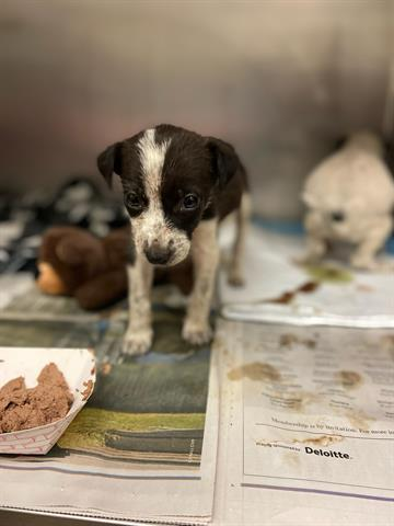 A stray black/white Queensland Heeler female dog about 6 weeks old (ID# A815945) was picked up at Decker Lake in , 78724. Latest info: http://www.petharbor.com/pet.asp?uaid=ASTN.A815945…pic.twitter.com/7wfC2Ts5tI