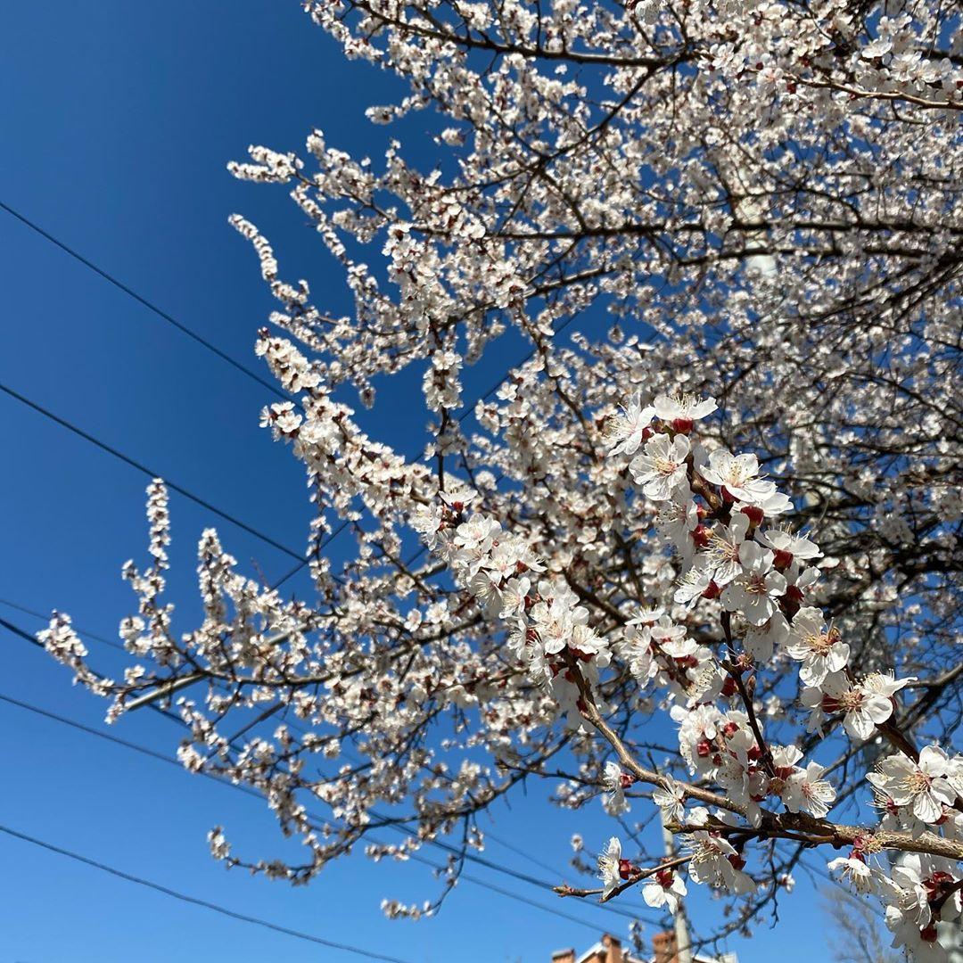 Пока мы сидим по домам и совершаем редкие вылазки в супермаркеты, на улице цветет жердёла и небо без облачка. Южная весна в самом разгаре  ⠀ #Ростовнадону #весна2020pic.twitter.com/ZR5Ru0yTne