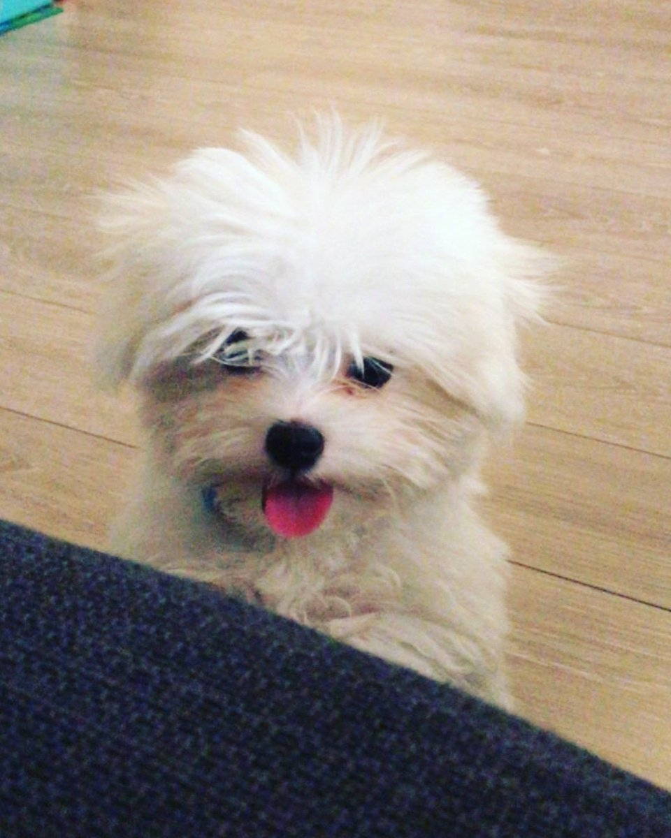 Hi Twitter my name is Nico! Woof woof!  #Maltese #Puppy #Dog #DogsofTwitter #Doglifepic.twitter.com/af7gbYckBs