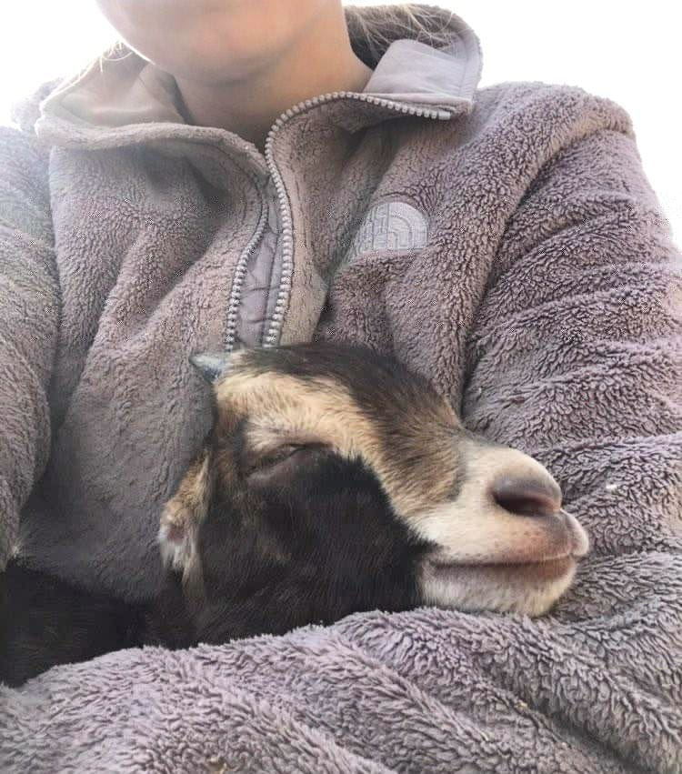 #FridayFun with Caregiver Kelsie! #indraloka #FridayFeeling #friday #friendship #friendsnotfood #cuddles #animalsanctuary #animalrescue #love #starsky #compassion #chicken #babygoat #goatspic.twitter.com/QSYGJUU9Rx