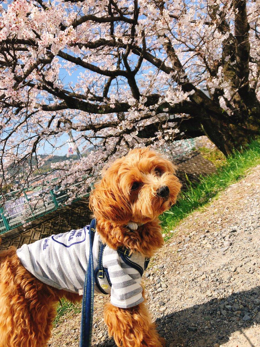 #マルプー #ミックス犬 #わんこ  #愛犬 #いぬのいる暮らし  #花見   近場の桜を見にお散歩  初めの桜、初めのお花見 天気がよくて気持ち良かったぁーpic.twitter.com/BQEoLOtdHJ