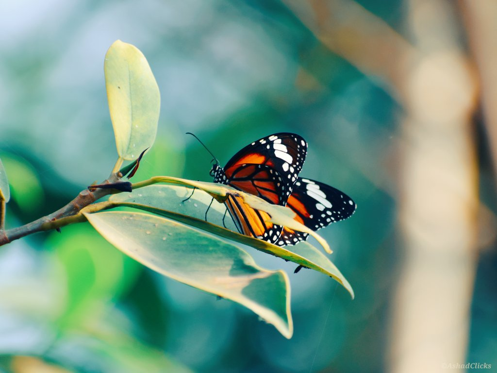 Morning! #AshadClick #NikonD5300 #MonarchButterfly #CommonTigerButterfly #Homepic.twitter.com/zkyfDgAxT8