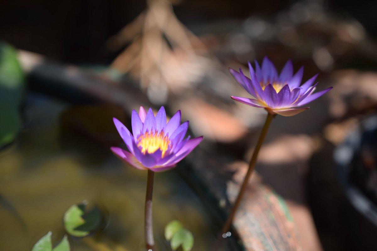 ดอกบัวคู่ #MyStory #Flowers #PictureOfTheDay #mylifeinpictures #Nikon #nikonphotography #บัวตูมบัวบาน #bokeh #happytimes #nikond5300 pic.twitter.com/yt3JpZWvmo