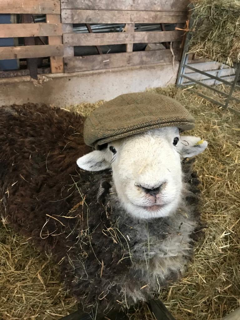 Just a happy Herdwick in a flat cap to brighten all your mornings. #herdy #herdwick #sheep #smile