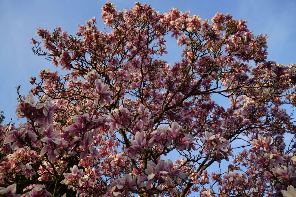 spring sunset #frühling #spring #müllheim #blume #blüte #flower #blue #sky #sunset #sonnenuntergang #blau #himmel #rose #rosa #natur #nature #germanalphas #sony #alpha7rm3 #a7r #sal2470II #nofilter @liebesmuellheim @sony @sonyalpha