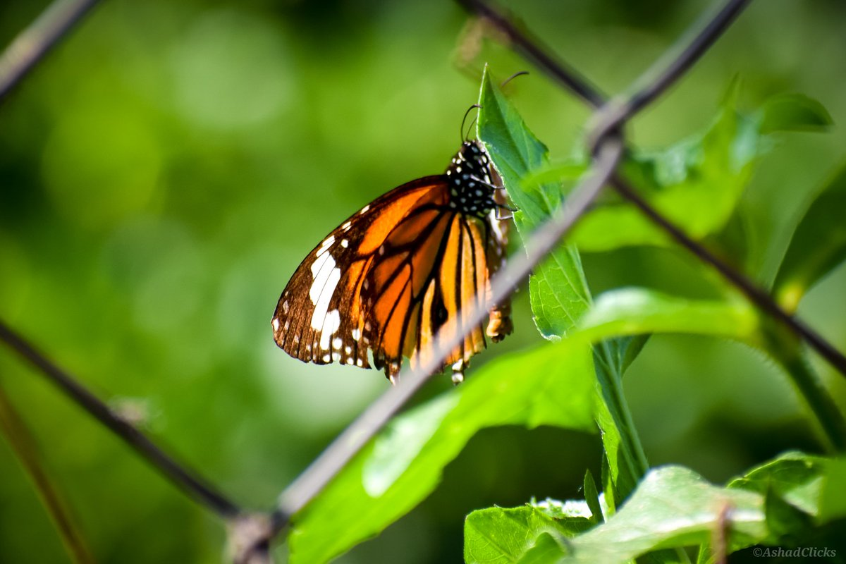 Morning! #AshadClick #NikonD5300 #MonarchButterfly #CommonTigerButterfly #Homepic.twitter.com/cwiCK7Yfeo