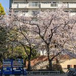 Image for the Tweet beginning: カバ公園内はあっという間に葉桜ですが、出入口付近は桜吹雪が見事です。