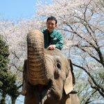 Image for the Tweet beginning: 今日もいいお天気ですね。満開の桜をバックにインドゾウと担当者のツーショットが届きました!お花見気分を味わってください。 #インドゾウ #金沢動物園 #休園中の動物園水族館 #どっちが主役 #おうちでお花見