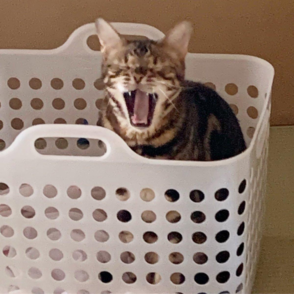 洗濯物の匂いが好きなオトコ😹 ベッド…売るほどあるのに💦 ・ ・ ・ #cat #猫 #ねこ #猫おもちゃ #handmade #ハンドメイド #minne #ミンネ #creema #クリーマ #マイロリーブ #myrolive #catgoods #ベンガル #bengalcat