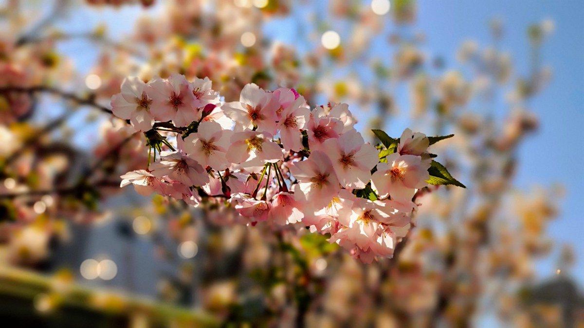 2020/04/04 12:13 鷲神社(浅草) zenfone6で撮影 #鷲神社 #ZenFoneで撮影した桜を愛でる会 #浅草 #桜 #sakura #asakusapic.twitter.com/8cZWHpKxNS