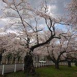 Image for the Tweet beginning: 富岡総合公園の桜 今日の風で花吹雪に。 今年はいつもと違う春でした。  #杉田富岡公園 #富岡総合公園
