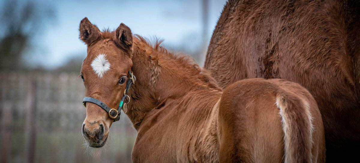 It might not be #FoalFriday but I am sure we are still allowed to post cute faces ... Pictured below a little foal by @DarleyStallions Dubawi... #equinephotography #foals #foalsofinstagram #horseracing #nikonpic.twitter.com/vcRRCb7Hoc