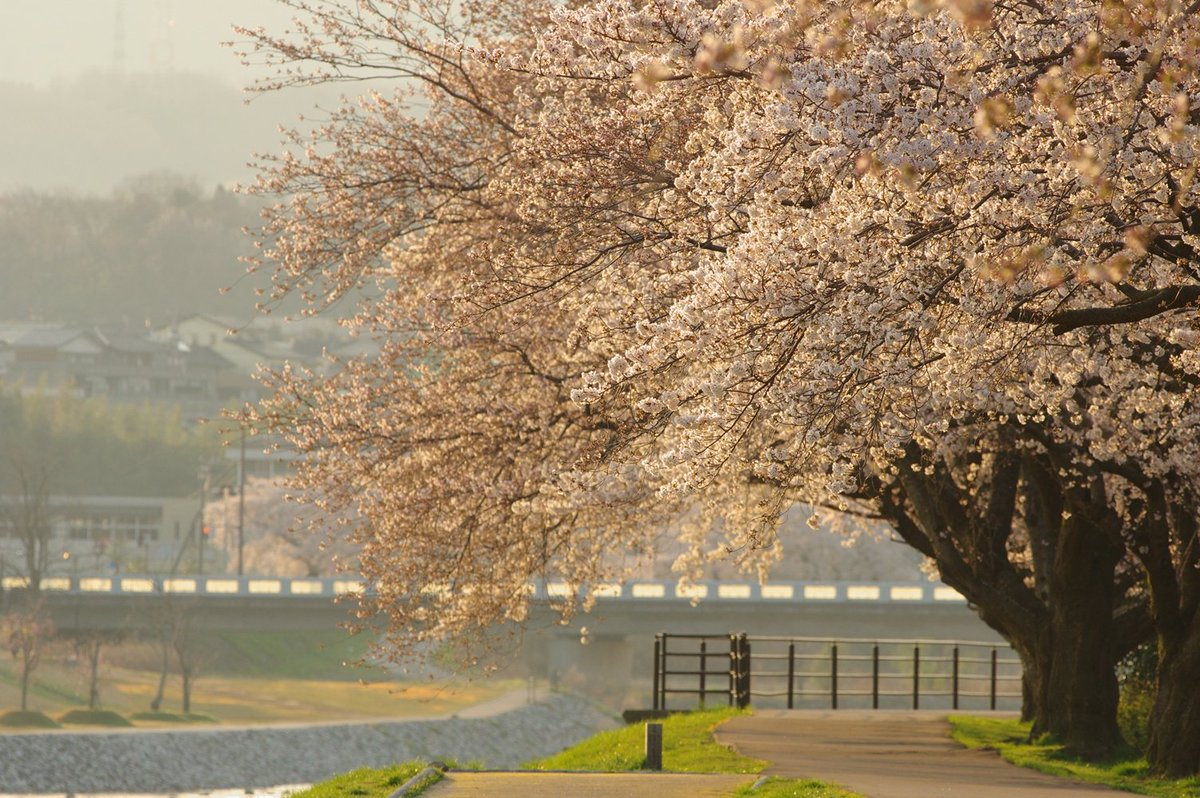 #PENTAX #KP / smc PENTAX FA*300mmF4.5ED[IF] #サクラ #cherryblossom #photography #犀川緑地 #日の出すぐに行ったらサクラが金色だったpic.twitter.com/OQW0qd7yVV