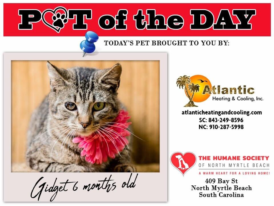 Today's featured #PetOfTheDay is Gidget! Her adoption fee is being sponsored today by @AtlanticCooling. Gidget is very inquisitive, and she would love to explore your home! She is very laid back and gets along well with other cats and dogs.pic.twitter.com/iSpiVxM20f