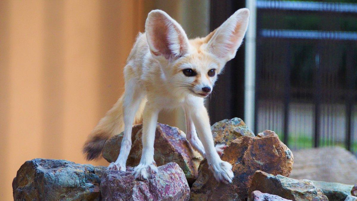 シャキーン!(`・ω・´)  #ツイッターで楽しむ動物展覧会  #井の頭自然文化園  #フェネック pic.twitter.com/2wz8JO7KMm