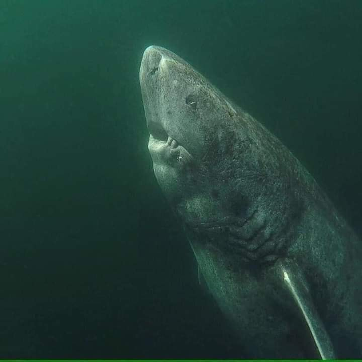 This is a 392 years old Greenland Shark that was located in the Arctic Ocean. He's been wandering the ocean since 1627. Photo by Julius Nielsen. https://t.co/CMZtJWmnSq https://t.co/6a4idxtIYY